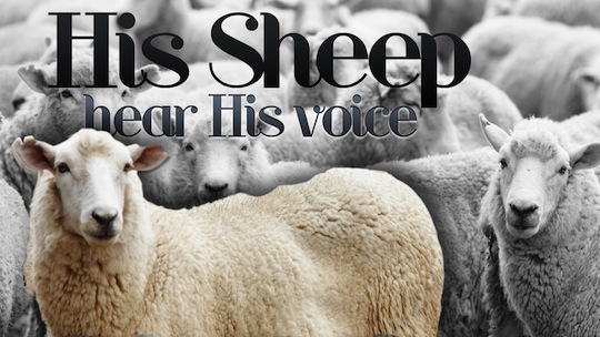 His Sheep hear His voice